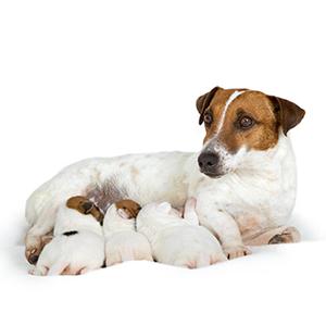 Moederhond en puppy's