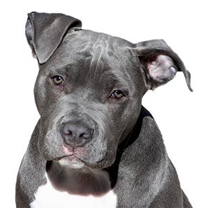 HR hond Pitbull